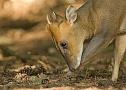 Reeve's Muntjac Scratching
