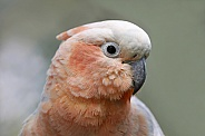 hybrid Cockatoo