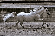 Arabian Stallion at Liberty