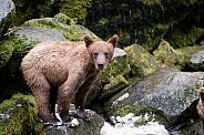 Wild Grizzly bear