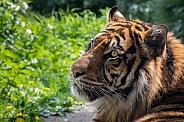 Sumatran Tiger (Panthera Tigris Sumatrea)