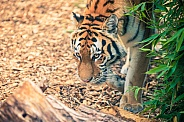 Tiger prowling