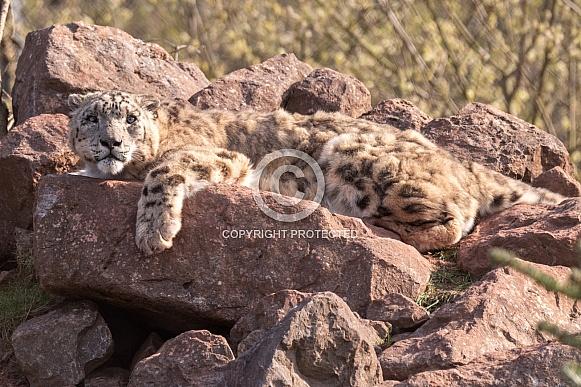 Snow Leopard Full Body On Rocks