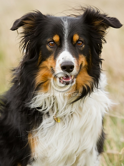 Tri-coloured Border Collie Portrait