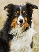 Tri-coloured Border Collie Portrait