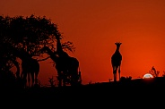 Four Giraffe Silhouettes at Sunset