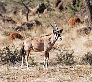 Juvenile Gemsbok