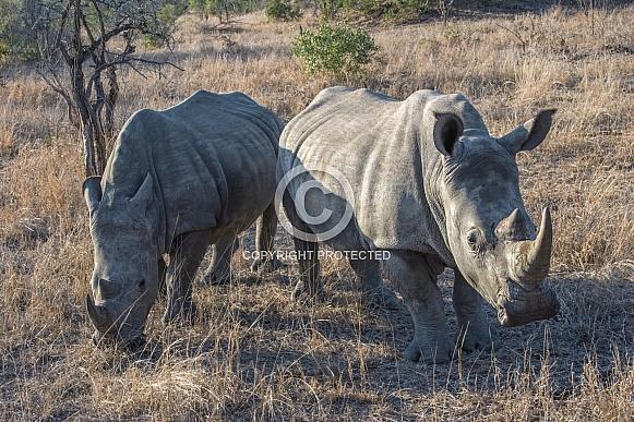 A Pair of Adult Rhinoceros in South Africa Savanna