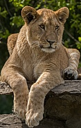 Young Arfican Lioness (Panthera Leo)
