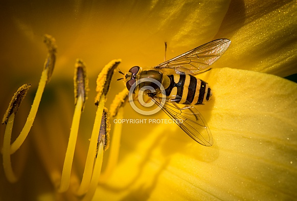 Wasp on yellow flowers