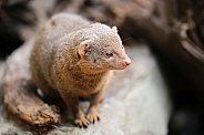 Common dwarf mongoose.