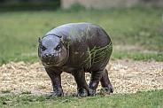 Pygmy hippopotamus