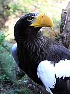 Steller's Sea Eagle 2