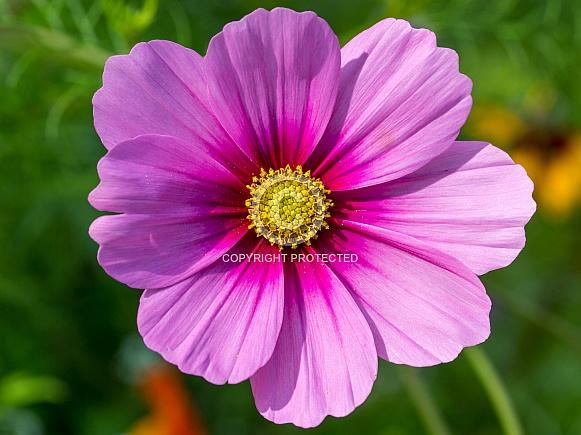 Pink Cosmos Closeup