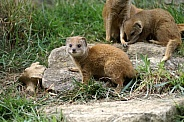 Yellow Mongoose Pup