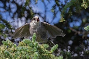 Gray Jay Squawking with Wings Spread