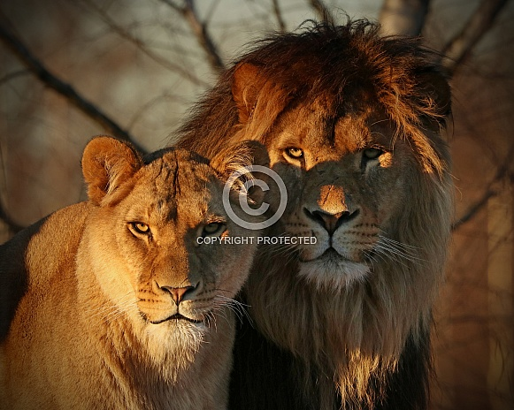 African lion and lioness in the evening sun