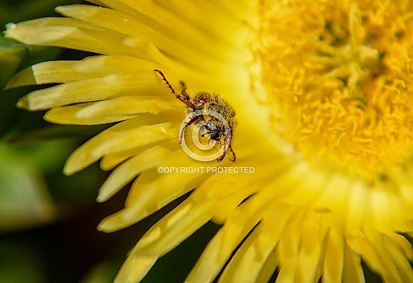 Spider Monkey Beetle
