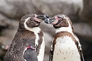 Humboldt Penguins