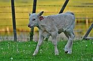 A White Calf
