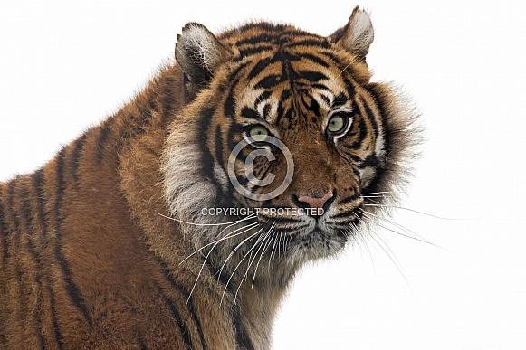 Sumatran Tiger Face Shot White Background
