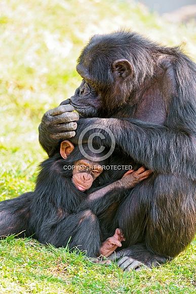 Chimp and Baby