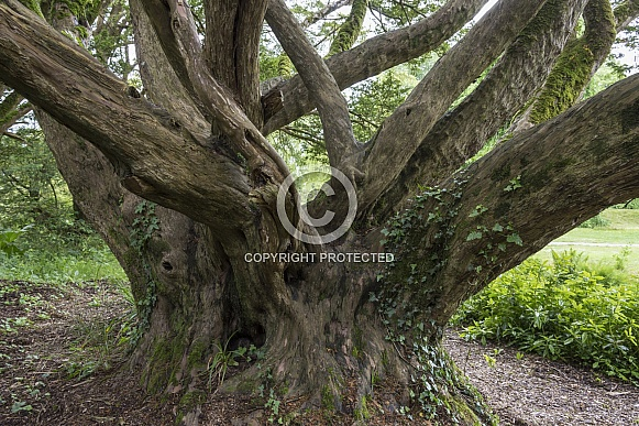 An ancient English Yew Tree