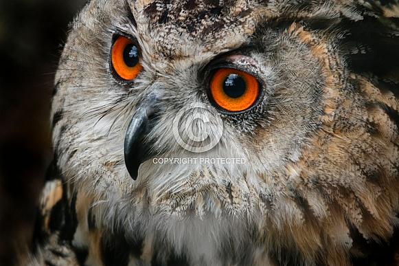 European Eagle Owl Close Up