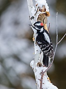 Male Downy Woodpecker perched on a tree