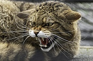 Scottish Wild Cat Snarling Teeth Out