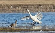 Trumpeter Swan Landing in Alaska