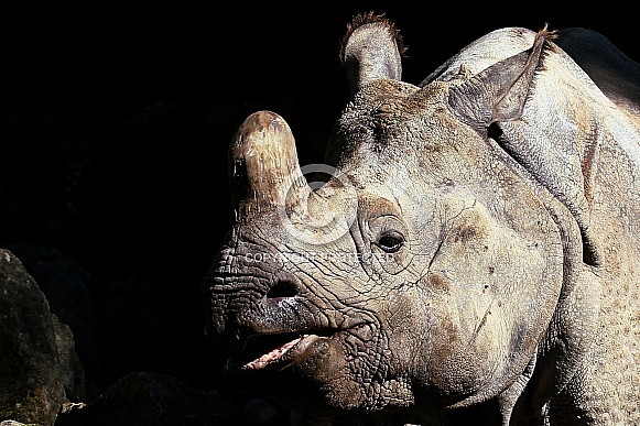 Indian Rhinoceros (Greater One-Horned Rhinoceros)