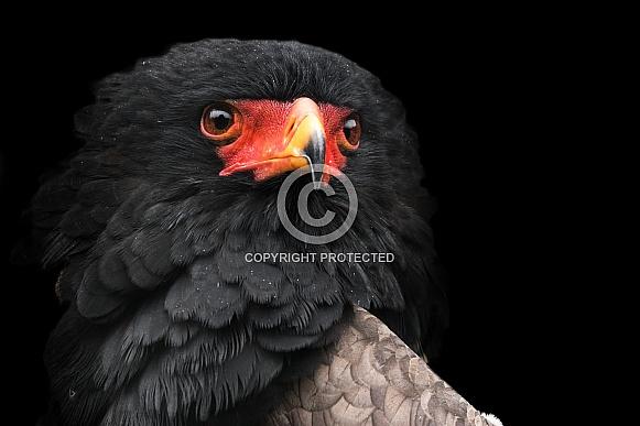 Bateleur Eagle Close Up Black Background