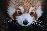 Red Panda Close Up