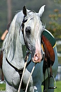 Arabian in Australian Stock Horse Tack