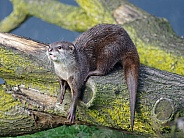 Small clawed otter