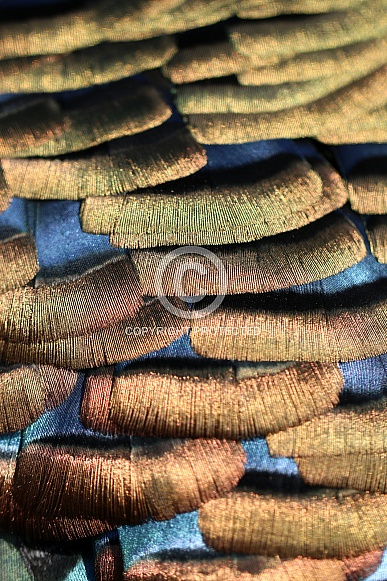 Ocellated turkey (Meleagris ocellata)