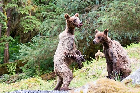 Two playful grizzly bear cubs