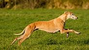 Golden Greyhound at Speed