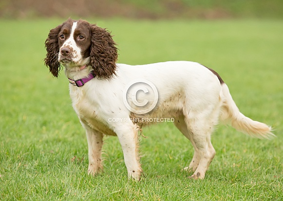 Springer x Cocker Spaniel