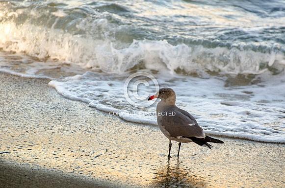 Seagull Strolling Shoreline at Sunset