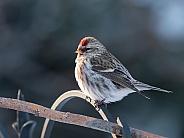 Female Common Redpoll