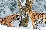 Amur Tigers in Snow