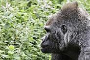 Western Lowland Gorilla Face Side Profile