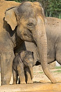 Asian Elelphant and young
