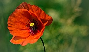 Dutch poppy