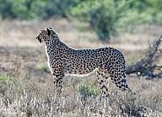 Juvenile Cheetah