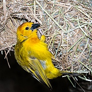 Teveta Golden Weaver