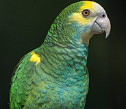 Orange Winged Amazon Parrot