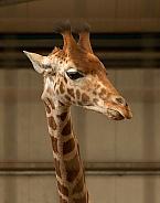 Young Kordofan Giraffe Close Up